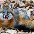 Grey Fox Smiling by Dan Friend