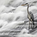 Grey Heron Fishing In Annacotty Waterfall Ireland  by Pierre Leclerc Photography