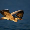 Grey Heron In Flight by Johan Swanepoel
