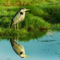 Grey Heron by Nick Eagles