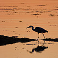 Grey Heron Sunset by Peter Walkden