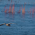 Grey Lag Goose In Flight by Philip Pound