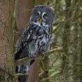 Grey Owl 3 by John Winstone