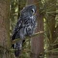 Grey Owl 4 by John Winstone