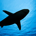 Grey Reef Shark Silhouette by Dave Fleetham - Printscapes