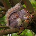 Grey Squirrel by Jeff Townsend