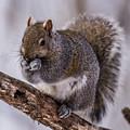 Grey Squirrel by Paul Freidlund