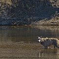 Grey Wolf In The Yellowstone River-signed-#4363 by J L Woody Wooden