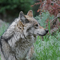 Grey Wolf Profile 2 by Ernie Echols