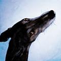 Greyhound - Always There by Tanja Kooymans