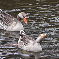 Greylag Geese by B Rossitto