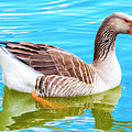 Greylag Goose by David Millenheft