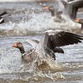 Greylag Goose Landing by Bob Kemp