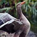 Greylag Goose Poetry by Silva Wischeropp