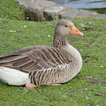 Greylag Goose Resting by Adrian Wale