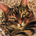 Griffin My Bengal Cat by Alicia Hollinger