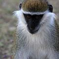 Grivet Monkey by Aidan Moran