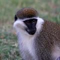 Grivet Monkey Ethiopia by Aidan Moran