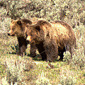 Grizzlies In The Sage Brush by Adam Jewell