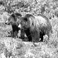 Grizzlies In The Sage Brush Black And White by Adam Jewell