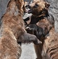 Grizzlies' Playtime 3 by Flo McKinley