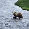 Grizzly At Yellowstone by William Moore