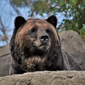 Grizzly Bear 1 by Flo McKinley