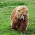 Grizzly Bear Approaching In A Field by Reimar Gaertner
