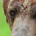 Grizzly Bear Arctos Ursus by David Burke