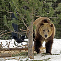 Grizzly Bear by Cindy Murphy - NightVisions