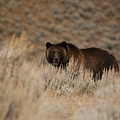 Grizzly Bear by Greg Payne