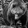 Grizzly Bear In Black And White by Ineke Mighorst