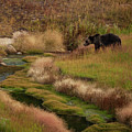 Grizzly Bear In Riverbed by Cliff Wassmann