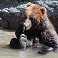 Grizzly Bear Licking His Paw While Seated In A Muddy River by DejaVu Designs