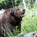 Grizzly Bear by Michael Chatt