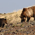 Grizzly Bear Mother And Cub by Max Allen