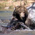 Grizzly Bear Plays In Water by Larry Allan