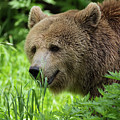 Grizzly Bear by Sam Rino