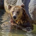Grizzly Bear - San Diego Zoo by TN Fairey