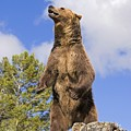 Grizzly Bear Standing On A Ridge by John Pitcher