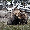 Grizzly Cub Cuddling With Mother by Scott Read