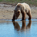 Grizzly  Cub Drinking From Stream In Katmai National Park by OLena Art - Lena Owens