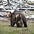 Grizzly Cub Holding Mother by Scott Read