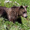Grizzly Cub  by Vincent Bonafede