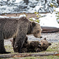 Grizzly Cub With Mother by Scott Read