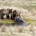 Grizzly Dinner by Steve Stuller