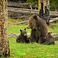 Grizzly Family Gathering by Greg Norrell
