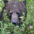Grizzly In The Berry Bushes by Deanna Cagle