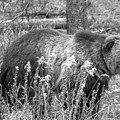 Grizzly In The Brush Black And White by Adam Jewell