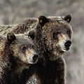 Grizzly Portrait by Ronnie and Frances Howard